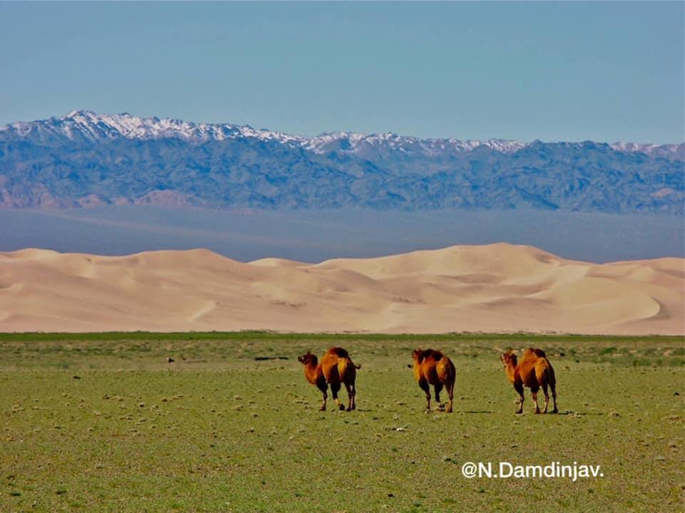 Camels in Mongolian highlands